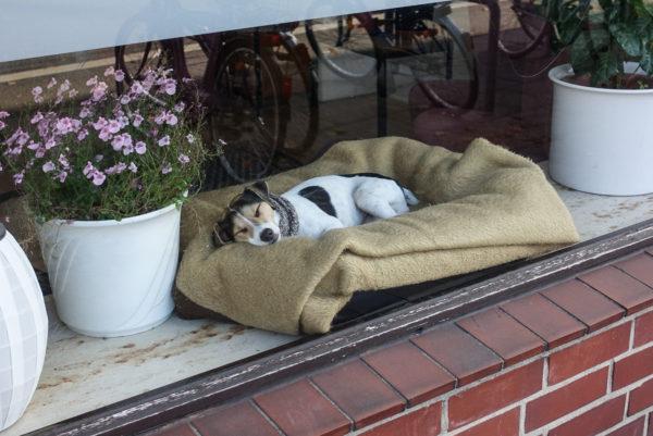 Ein Terrier schläft gut sichtbar in seinem Körbchen hinter einem Schaufenster.